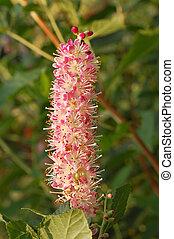 Pink Summersweet Flowers - Pink Summersweet Clethra...