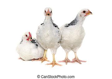 blanc, poulets, fond