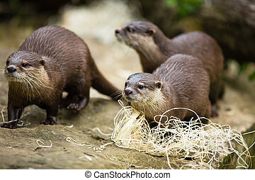 Cute otters - Eurasian otter Lutra lutra