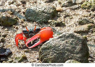 Red-clawed fiddler crab in the mangroves of Tai O, Hong Kong...