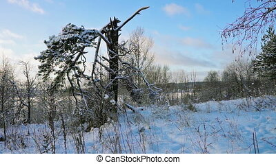 Broken tree in winter forest at sunset
