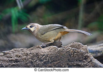 White-browed Laughingthrush - Brown bird, White-browed...