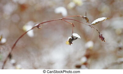 Dry snowberry branch under snow - Close-up view at snow...