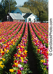House at the end of a row of tulips