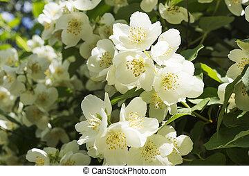 jasmine white flower bush blossoms at spring