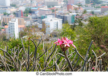 Frangipani with a view of the city