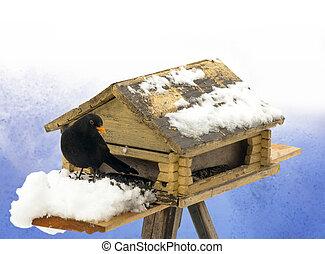 Blackbird enjoying sunflower seeds in winter