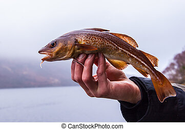 Freshly caught cod on anglers hand with Scottish loch in the...