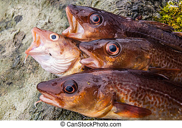 Freshly caught cods on a rock close up un heads