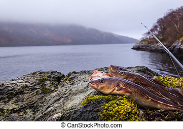 Freshly caught cods on a rock with fishing rod and Scottish...