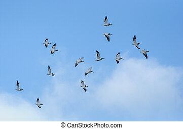 American white pelicans in flight - amazing american white...