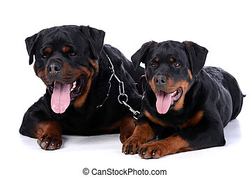 Rottweiler dog - portrait of two purebred rottweiler in...