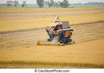 Farm worker harvesting rice with Combine machine in rice...