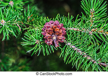 A beautiful brown pine cone in a park in Montreal City...