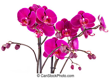 Purple Orchids - Closeup of purple orchids over white...