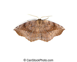 Geometer Moth - Curve-toothed Geometer moth Eutrapela...