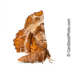 Geometer Moth - Kents Geometer moth Selenia kentaria on a...