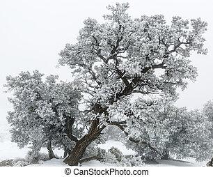 Utah Juniper Tree (Juniperus osteosperma) in Utah's San...
