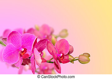 Purple orchid flowers branch on blurred gradient with...