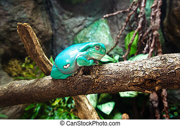 Waxy Tree Frog - Tropical waxy tree frog