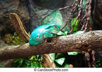 Waxy Tree Frog - Tropical waxy tree frog