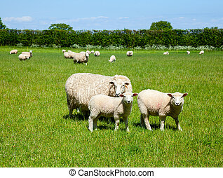 Lambs - Sheep with lambs at a pasture in England