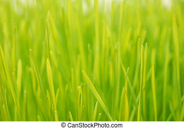 Wheatgrass up close - Freshly grown wheatgrass with shallow...