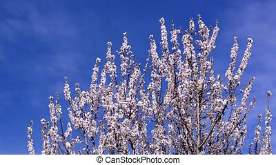 Cherry blossoms in spring, branch of cherry tree with white...