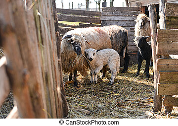Sheep with a lamb eating hay of the barn. Maternal instinct. Selective focus