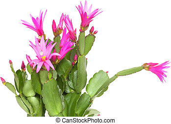 Christmas Cactus - Magenta Christmas Cactus isolated on...