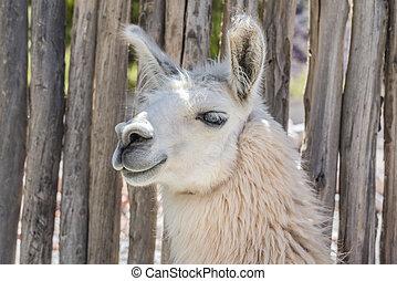 Llama in Purmamarca, Jujuy, Argentina - Llama in Purmamarca,...
