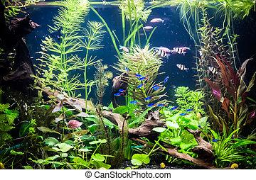 Ttropical, freshwater, aquário, Peixes