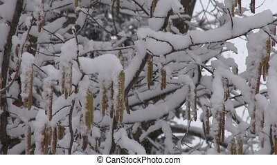 Hazel with spring catkins and snow - Hazel branch with...
