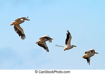 flock of four pelicans - flock of four great pelicans...