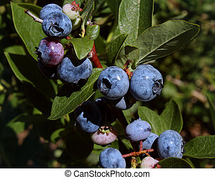 Blueberry Plant - Blueberry plant growing naturaly as a...