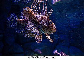 Feuerfisch in aquarium