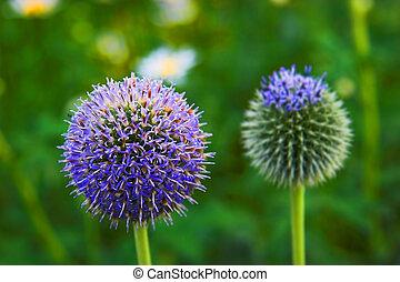 globe thistle - Ball flower