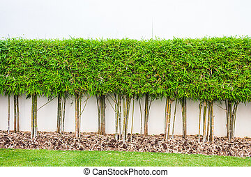 Bamboo plant and green grass wall background in garden