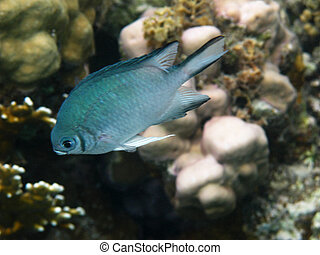 Damselfish and coral reef in Red sea
