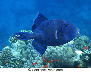 Dark blue triggerfish and coral reef