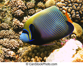 Emperor angelfish and coral reef in Red sea