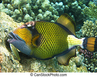 Titan triggerfish and coral reef in Red sea