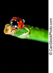 lady bug - macro shot of a lady bug on a stalk, with black...