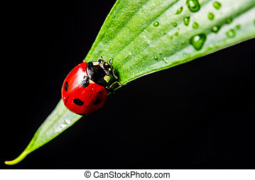 lady bug - macro shot of a lady bug on a leaf, with black...