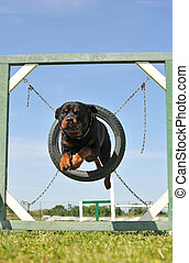 jumping rottweiler - portrait of a purebred rottweiler in...