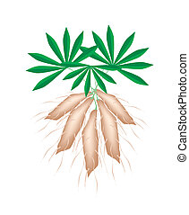 Fresh Tapioca Plants Cassava on White Background -...
