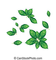 Set of Thai Basil Leaves on White Background - Vegetable and...