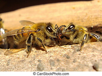 bees 10509 - harvester bee, delivering the nectar collected...