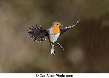 Robin, Erithacus rubecula, single bird in flight,...