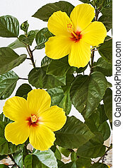 amarela, Hibisco